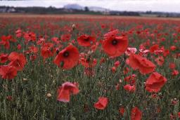 Poppy-flowers-vivid-red-in-field-at-Musselburgh-Scotland-rescan-highres-1-OGS
